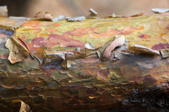 The bark on the trunk of pine. Beautiful mottled bark on the trunk of pine stock images