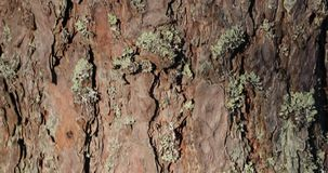 Bark on the trunk of a pine close-up. panning from bottom to top.  stock video