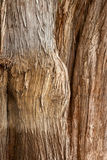 Bark of Tule tree Stock Photos
