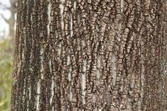 Bark of tulip tree Royalty Free Stock Photos