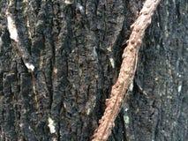 Bark and vine. Stock Photo