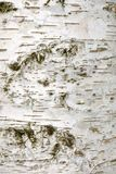 Bark of white birch tree. A vertical picture (texture stock photo
