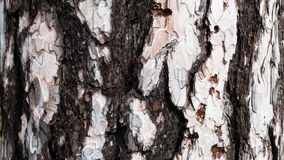 Bark of white Pine Tree. Royalty Free Stock Photography
