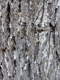The bark of white-washed poplar close-up texture Royalty Free Stock Photos