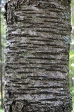 Bark of wild cherry (Prunus avium). Close-up of wild cherry bark (Prunus avium Royalty Free Stock Image