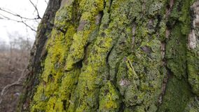 Bark of wood with moss.  stock video