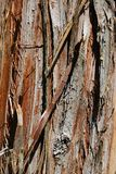 Bark wood texture of coniferous tree Cryptomeria Japonica, also called Japanese Sugi Pine, Japanese Red-Cedar or simply Sugi, Stock Image