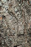 Bark wood texture of small-leaved lime tree Tilia Cordata. Slightly covered with lichen. Photograph taken during fall season, dayligh sunshine royalty free stock photo