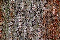 Bark wood texture of tulip tree of american tulip tree, also called whitewood, latin name Liriodendron Tulipifera royalty free stock photo