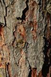 Bark wood trunk texture of Dahurian larch royalty free stock photo