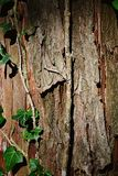 Bark wood trunk texture of dawn redwood, latin name Metasequoia Glyptostroboides with leaves and stalk of climbing common ivy Hede. Ra Helix on left side Royalty Free Stock Photo