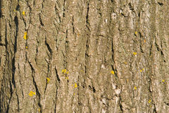 Bark of wood with yellow lichen spots in sunny day Royalty Free Stock Photography