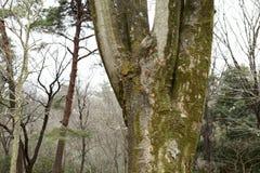 Bark of zelkova tree. A picture of the bark of a zelkova tree stock image
