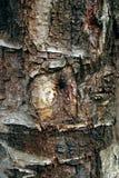 Barke, Birkenstamm, Birkenrinde stockbilder