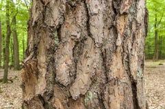 Barke del pino nella foresta di estate Immagine Stock