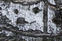 Barke der Birke Lizenzfreies Stockbild