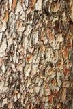 Barke der Kiefer Stockbilder