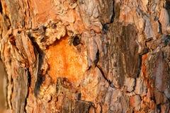 Barke der Kiefers Foto auf Lager Stockfotos