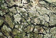 Barke des alten Birnenbaums Lizenzfreie Stockfotografie