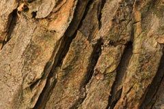 Barke des alten Conkerbaums Stockfoto