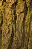 Barke des alten Conkerbaums Stockfotos
