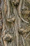 Barke des Baums Stockfoto