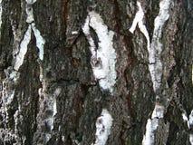 Barke des Baums Lizenzfreie Stockfotografie