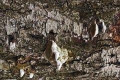Barke des Baums mit Sprüngen und Ergebnissen Stockbild