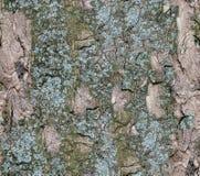 Barke des Baums Nahtlose Tileable Beschaffenheit stockfoto