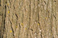 Barke des Holzes mit gelben Flechtenstellen am sonnigen Tag Lizenzfreie Stockfotografie
