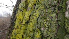 Barke des Holzes mit Moos stock video