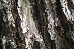 Barke des Olivenbaums lizenzfreie stockbilder