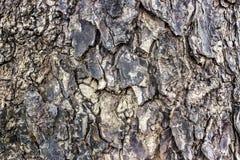 Barke des Regenbaums. Stockbilder