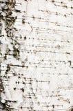 Barke einer Birke Stockbilder