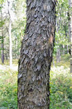Barke eines Sykomore Acer-pseudoplatanus schoss in einem breitblättrigen Schluchtwald Slowenien Stockbilder
