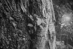 Barke von trees& x28; Schwarzweiss-- u. x29; stockfotografie