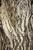Barkebaum Stockbild