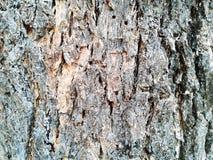 barkeeperen Gammal Wood trädtexturbakgrund Uppvaktar det naturliga skället för closeupen royaltyfria bilder