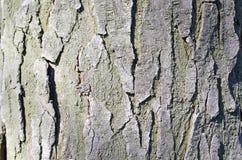barkeeperen Träd Träskäll E Natur r Trä texturerar naturliga texturer Bakgrund Träbackgrou arkivbild