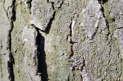 barkeeperen Träd Träskäll E Natur r Trä texturerar naturliga texturer Bakgrund Träbackgrou fotografering för bildbyråer