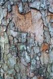 Barken-Baumrindebeschaffenheit Lizenzfreies Stockfoto
