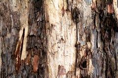 Barken-Muster des großen Baums Stockfotos