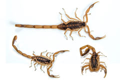 Barken-Skorpion lizenzfreie stockbilder