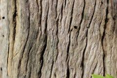Barkenbaumbeschaffenheit Stockfoto