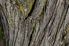 Barkenbaumbeschaffenheit Barkenbaum Hintergrund Abstrakte Beschaffenheit und Hintergrund für Designer Lizenzfreies Stockfoto
