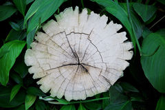 Barkenbaumstumpf und grüne Blätter der Anlage im Garten Lizenzfreie Stockfotografie