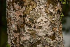 Barkenbeschaffenheit des Baums Lizenzfreies Stockbild