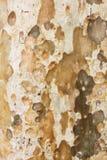 Barkenbeschaffenheits- und -hintergrundeukalyptusbaum Lizenzfreies Stockfoto