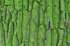 Barkentyna akacja północna strona drzewo zieleń fotografia stock