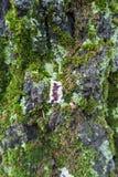 Barkentyna brzoza z mech, liszajem i pieczarkami, fotografia stock